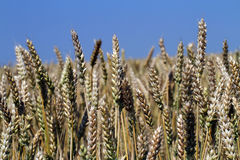 Winter wheat Stock Images