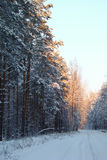 Winter white forest. The setting sun illuminates the winter forest Stock Photos