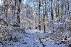 Winter white forrest. Snow on trees and forrest path and sun shining through trees stock photo