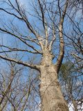 A winter white Oak Stock Photography