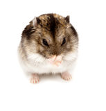 Winter White Russian Dwarf Hamster Stock Image