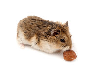 Free Winter White Russian Dwarf Hamster Royalty Free Stock Photography - 13125857