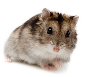 Winter White Russian Dwarf Hamster Stock Photography