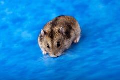 Free Winter White Russian Dwarf Hamster Stock Photo - 13125920
