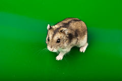 Winter White Russian Dwarf Hamster Stock Photos