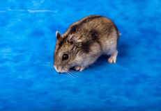 Winter White Russian Dwarf Hamster Royalty Free Stock Photos