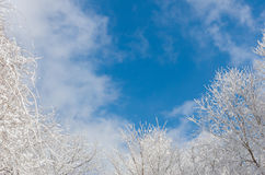 Winter white snow with frost on a branch against a blue sky background Royalty Free Stock Image