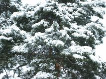 White snow on a green pine tree. Winter white snow on a green pine branches Royalty Free Stock Photos