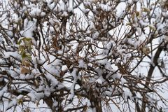 White snow on a shrub branches royalty free stock photography