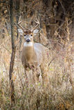 Winter White Tail Buck Is Awake and Alert Before Sunrise Royalty Free Stock Images