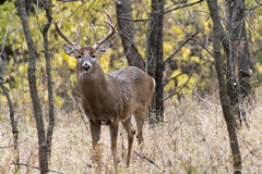 Winter White Tail Buck Is Awake and Alert Before Sunrise Royalty Free Stock Photos
