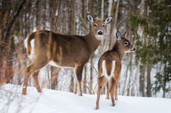 Winter white tailed deer. Two white tailed deer in a winter forest Stock Photo