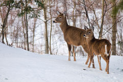 Winter white tailed deer Stock Images