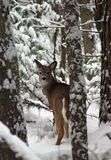 Winter Whitetail. This image of the whitetail doe was taken just after a heavy snowfall in western MT Stock Photography