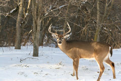 Winter Whitetail 8pt Buck. Photo of a whitetail buck deer with a nice 8 point rack Royalty Free Stock Photography
