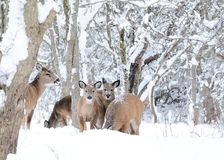 Winter Whitetail Deer Stock Photo
