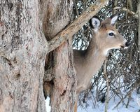 Winter Whitetail Deer Buck Royalty Free Stock Photography