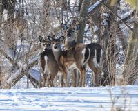 Winter whitetailed deer family Stock Images