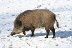 Winter wild boar Stock Image
