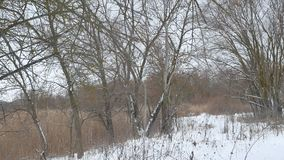 Winter wild forest dry tree trunks beautiful landscape in the snow stock video footage