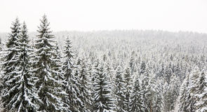 Winter wild forest landscape Stock Photos