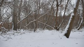 Winter wild forest in the snow dry trees nature, winter landscape stock video