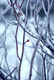 Winter wild rose bush. Wild rose bush on a snowy background Royalty Free Stock Photography