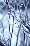 Winter wild rose bush Royalty Free Stock Photography