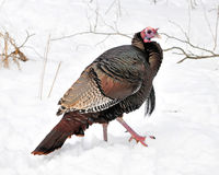 Winter Wild Turkey Stock Photos