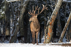 Winter Wildlife Landscape With Great Red Deer (Cervus elaphus). Magnificent Noble Deer On The Edge Of Winter Forest. Stock Image