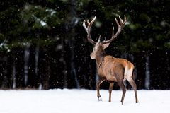 Winter wildlife landscape. Noble deer Cervus Elaphus. Back of deer in winter forest. Deer with large horns with snow royalty free stock photos