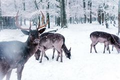 Winter wildlife landscape with young deer. stock photo