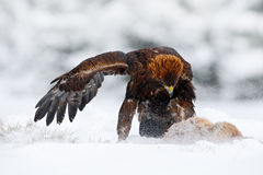 Winter wildlife scene from nature. Golden Eagle with catch hare in snowy winter, snow in the forest habitat. Storm with bird and f Royalty Free Stock Photography