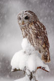 Winter wildlife scene with owl. Tawny Owl snow covered in snowfall during winter. Action snowfall scene with beautiful forest bird Stock Image