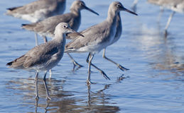 Winter Willet. Stock Images