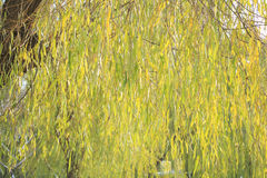 Winter Willow Stock Image