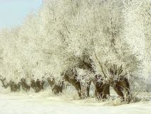 Winter willows on the field Stock Photography