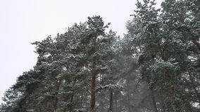 Winter wind storm forest nature snowing pine forest with snow landscape winter beautiful christmas tree background stock footage
