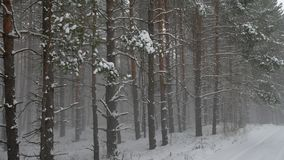 Winter wind storm forest nature snowing pine forest with snow winter landscape beautiful christmas tree background. Winter wind storm forest nature snowing pine stock footage