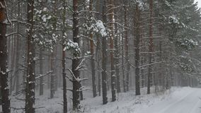 Winter wind storm forest nature snowing pine forest with snow winter landscape beautiful christmas tree background Stock Image