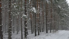 Winter wind storm forest nature snowing pine forest with snow winter landscape beautiful christmas tree background Royalty Free Stock Photography