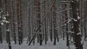 Winter wind storm forest nature snowing pine forest with winter snow landscape beautiful christmas tree background stock video