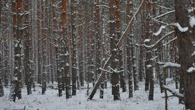 Winter wind storm nature forest snowing pine forest with winter snow landscape beautiful christmas tree background stock video footage