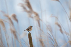 Winter winds. Winter cold winds go through the reeds causing a blur. A female European stonechat perched on the foreground Royalty Free Stock Images