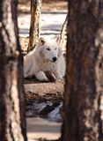 Winter wolf. An Alaskan Tundra Wolf sitting in the shade in the woods during the winter in Northern Arizona Royalty Free Stock Image