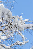 Winter wonder land - snowy branches Stock Photos
