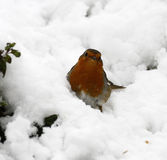 Snow White Robin Red Breast. Gardeners friend Royalty Free Stock Image
