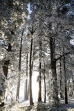Winter wonderland. First winter Frost covering trees in forest during sunset Stock Photos