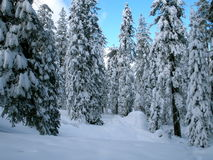 Winter Wonderland. A forest of snow-covered trees in a winter wonderland stock images