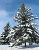 Winter Wonderland. A wonderland of pine trees after a heavy snowfall royalty free stock image